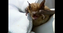 Bat Removal & Exclusion Video