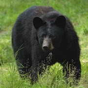 Bear Baits and Lures