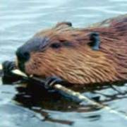 Beaver Traps
