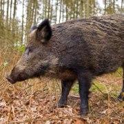 Hog Traps