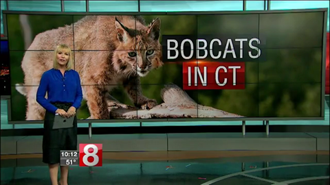 Bobcats in CT