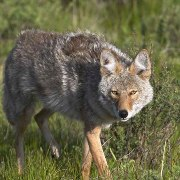 Coyote or Dog Traps