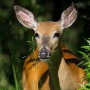 Deer, Elk & Moose Baits and Lures