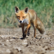 Fox or Small Canine Traps