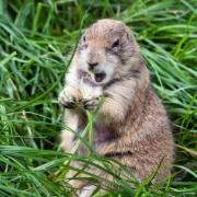 Groundhog/Woodchuck Baits and Lures