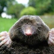 Mole Traps