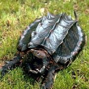 Turtle Traps